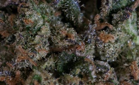 Girl Scout Cookies Marijuana Strain