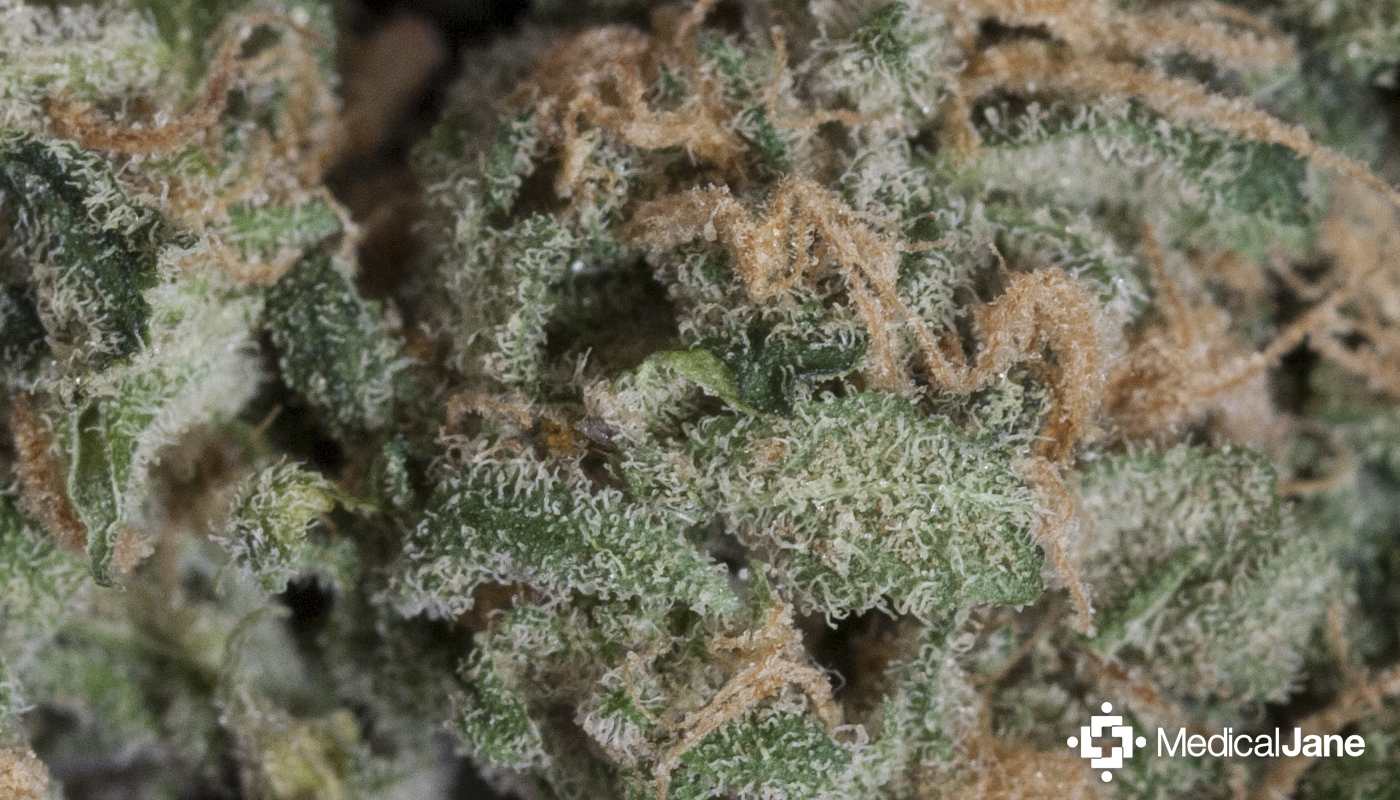 Chocolope Marijuana Strain