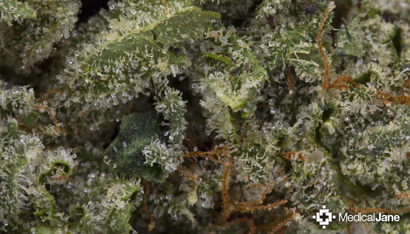G-13 Marijuana Strain