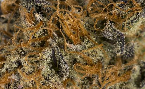 Jillybean Marijuana Strain