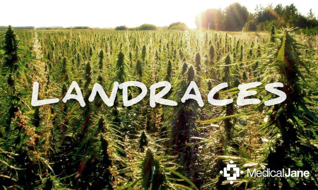 Landraces Of Cannabis: What You Need To Know