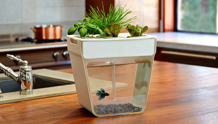 Self cleaning fish tank grows organic plants for Growing plants with fish