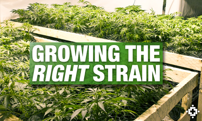 Choosing The Right Cannabis Strain For Your Indoor Garden
