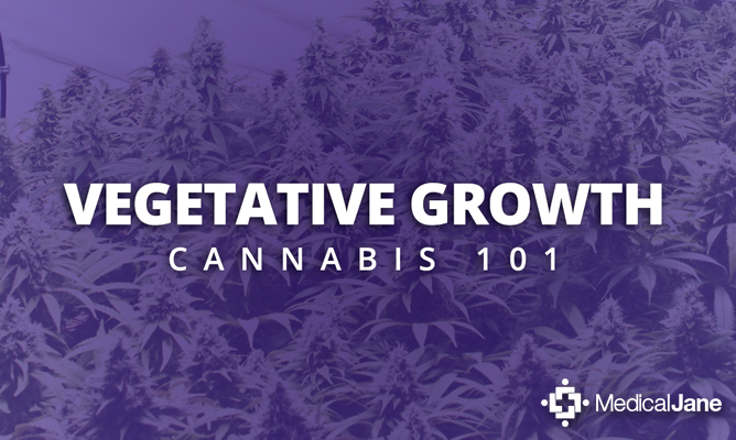 Pre-Veg and Vegetative Growth Management in Medicinal Marijuana Crops