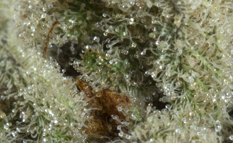 Chernobyl Marijuana Strain