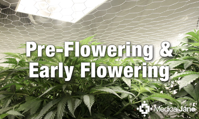Pre-Flowering and Early Flowering Tips For Growing ...