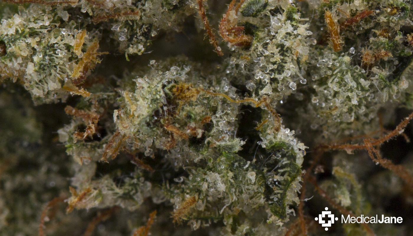 Holy Grail Kush Marijuana Strain