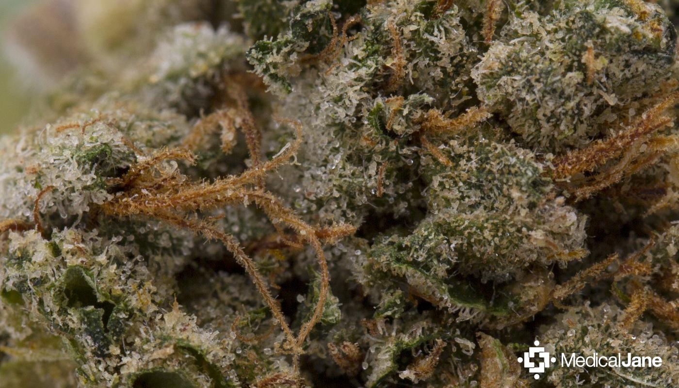 Maui Waui Marijuana Strain
