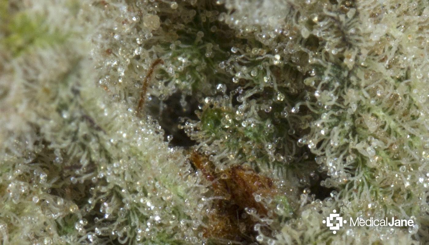 Chernobyl Marijuana Strain (Review)